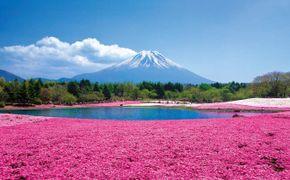 Excursi�n de 1 d�a en autob�s a Shiba Sakura y el Monte Fuji desde Tokio